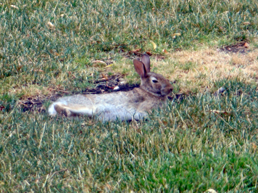 rabbit on cool patch of dirt