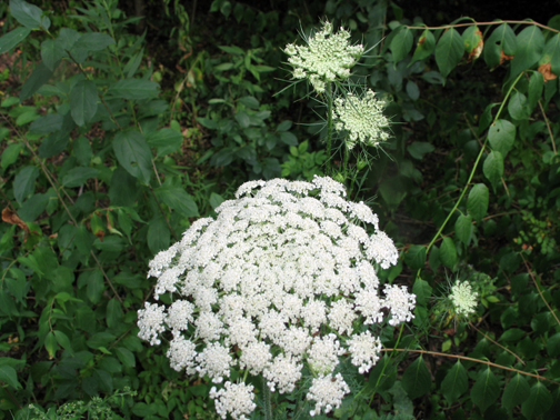 Flower Queen Anne's Lace