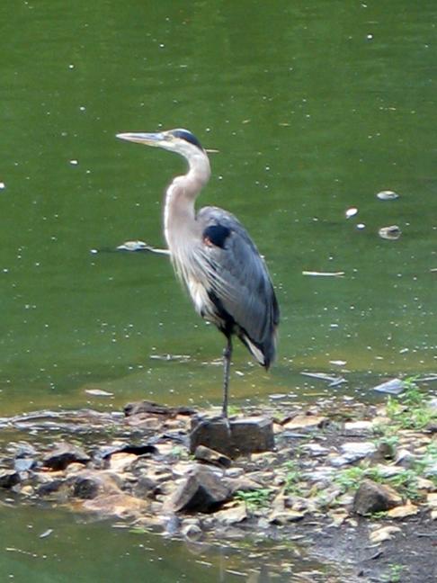 one leg heron